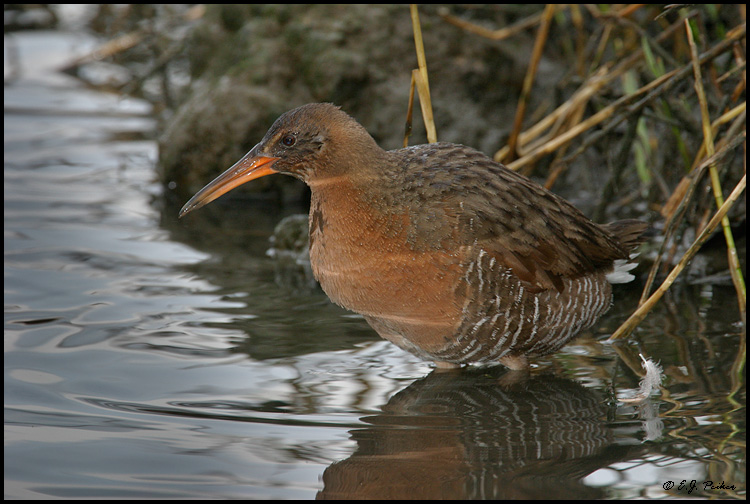 Clapper Rail, Newport Beach, CA