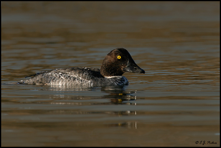 Common Goldeneye, Huntington Beach, CA