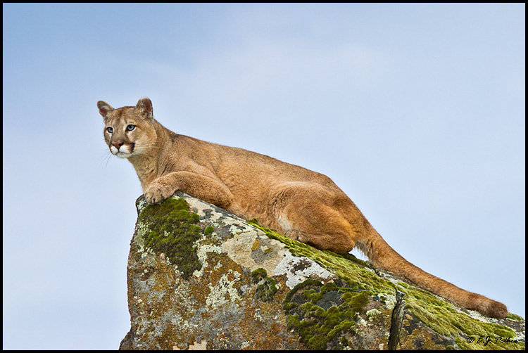 Cougar (Mountain Lion) (c), Mariposa, CA