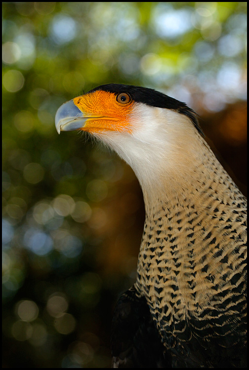 Crested Caracara, Escondido, CA (captive)