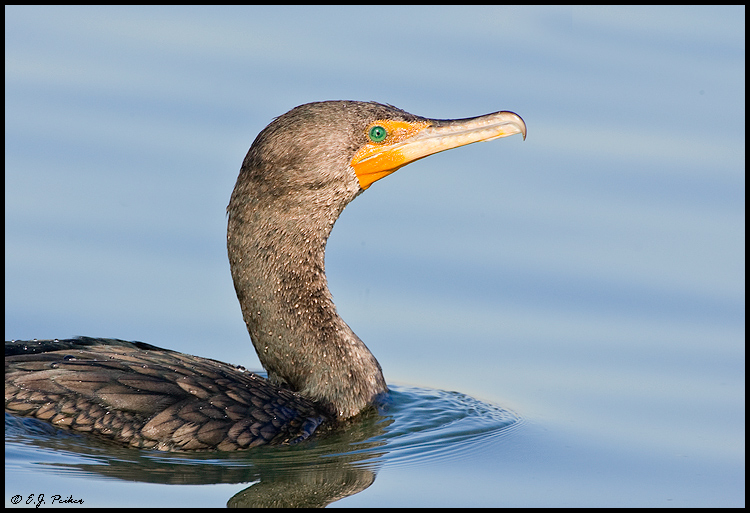 Double-crested Cormorant, Huntington Beach, CA