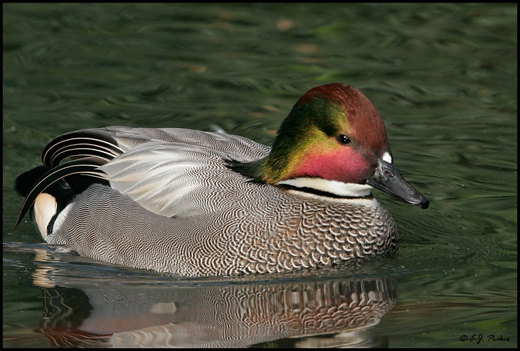 Falcated Duck,San Diego, CA