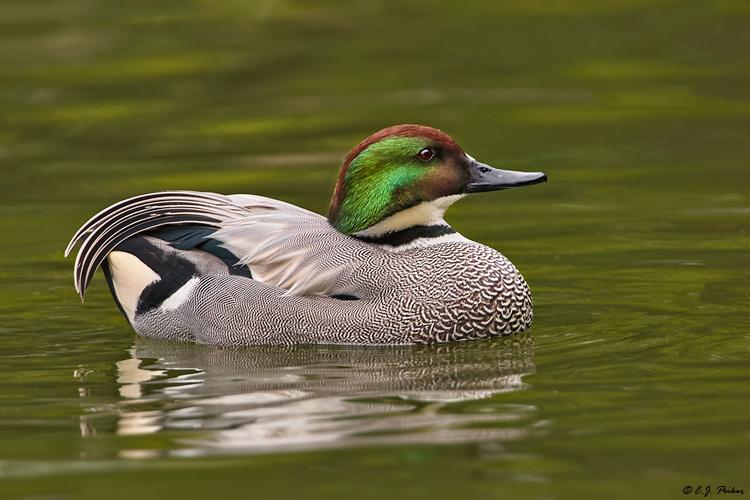 اردک هلالی