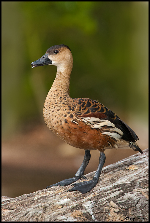 Fulvous Whistling Duck, San Diego, CA