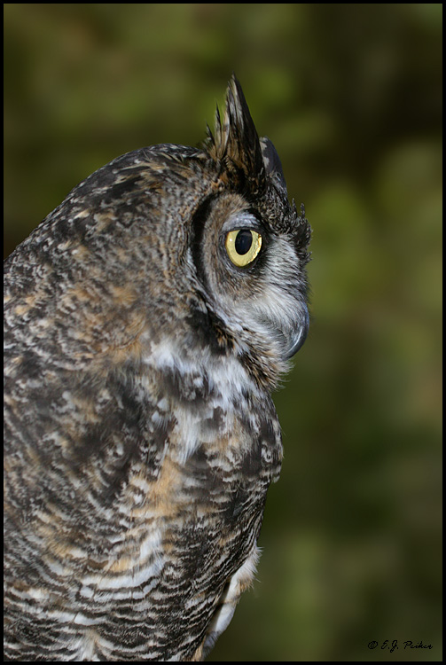 Great-horned Owl, Escondido, CA