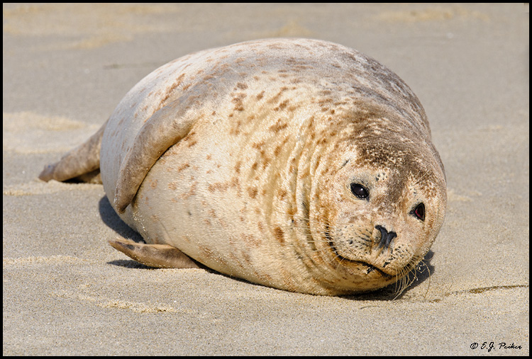 Harbor Seal, La Jolla, CA