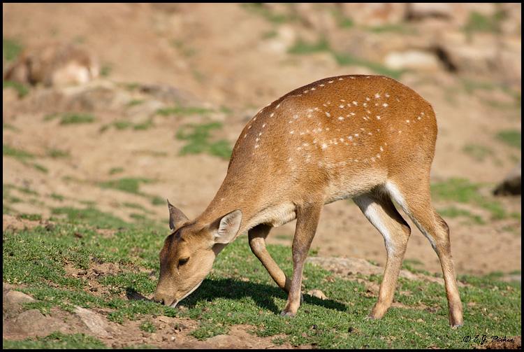 pictures of animal hog deer habitat