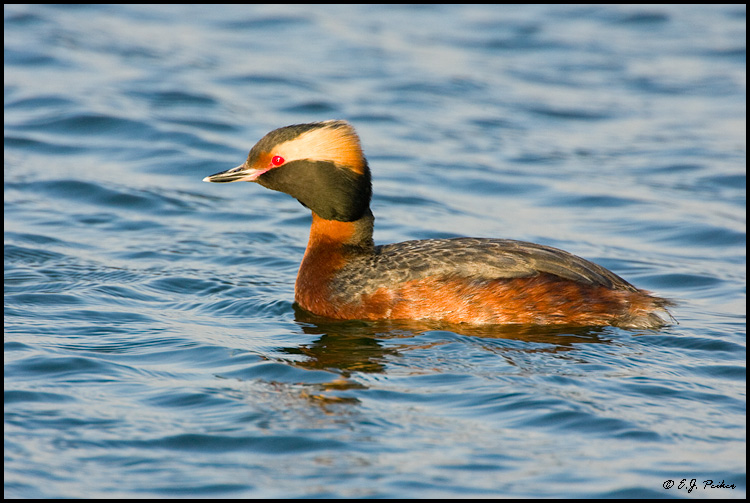 Horned Grebe, Huntington Beach, CA