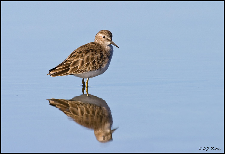 Least Sandpiper, Huntington Beach, CA