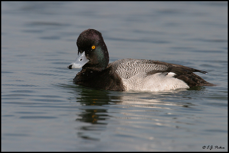 Lesser Scaup, Huntington Beach, CA