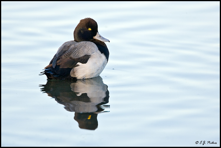 Lesser Scaup, Newport Beach, CA