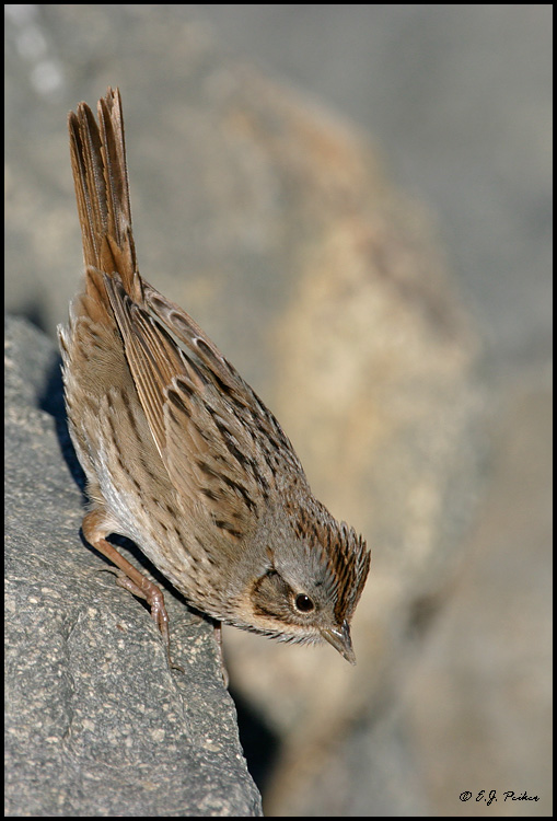 Lincoln S Sparrow Page