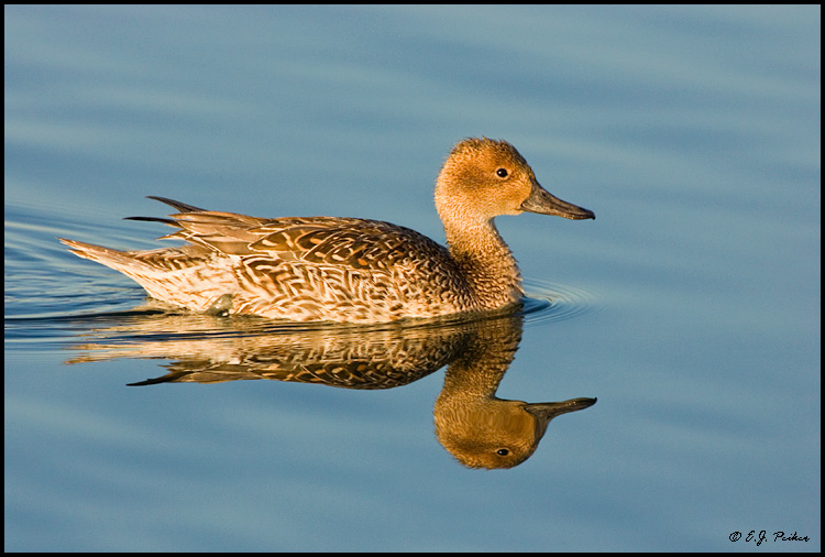Northern Pintail, Huntington Beach, CA