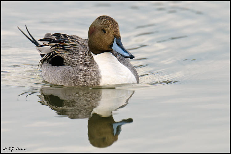 Northern Pintail,Newport Beach, CA