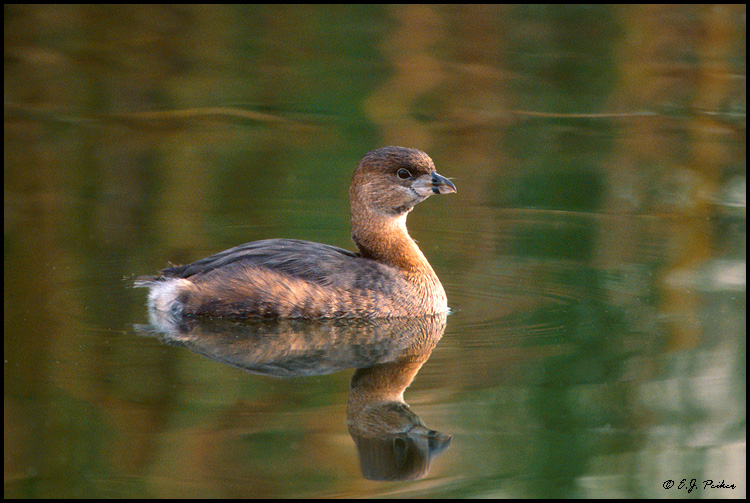 Pied-billed Grebe, Santee, CA