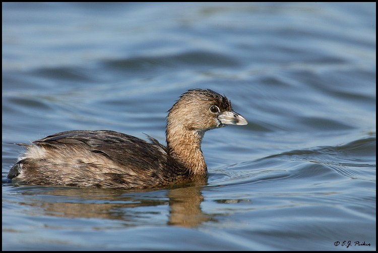 Pied-billed Grebe, Huntington Beach, CA