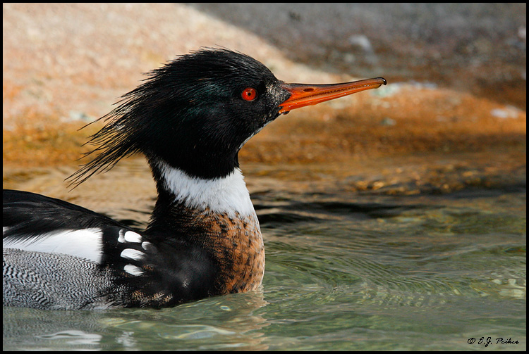 Red-breasted Merganser, San Diego, CA