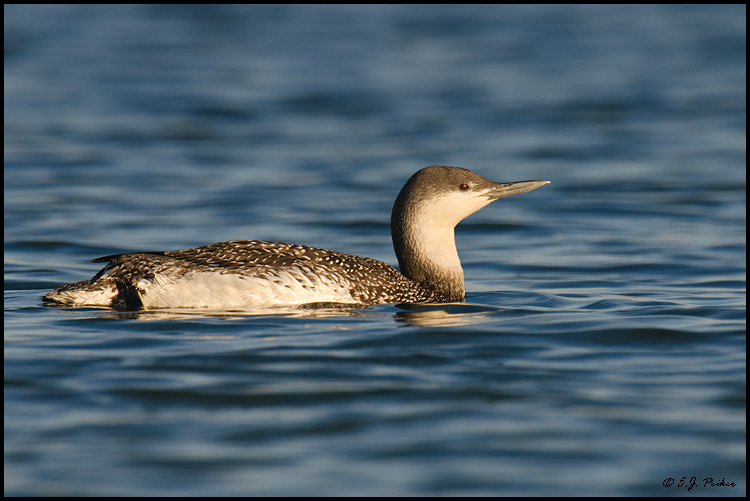 Red-throated Loon, Los Angeles, CA