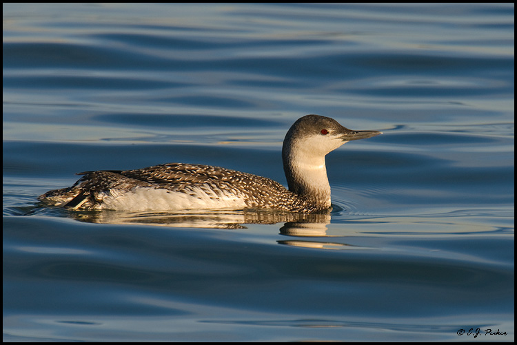 Red-throated Loon, Los Angeles, CA Red Throated Loon