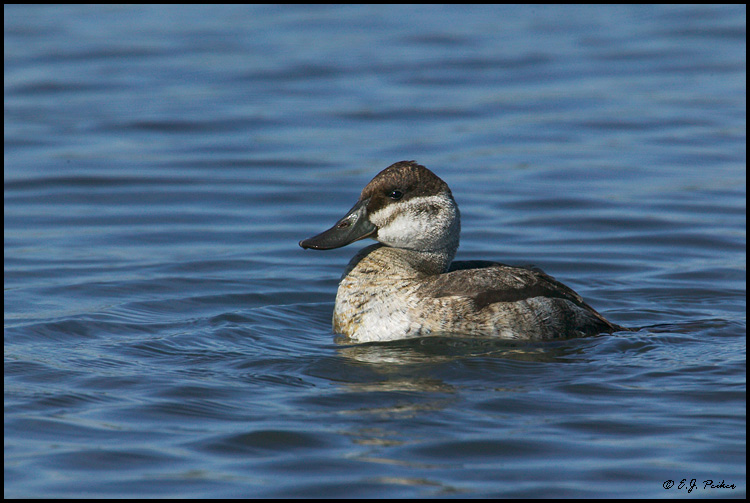 Ruddy Duck, Huntington Beach, CA