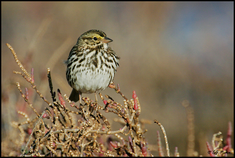 Savannah Sparrow, Huntington Beach, CA