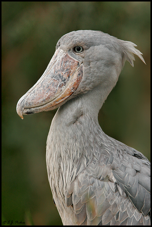 Fantastical Shoebills: 7 Fab Facts - Africa Geographic