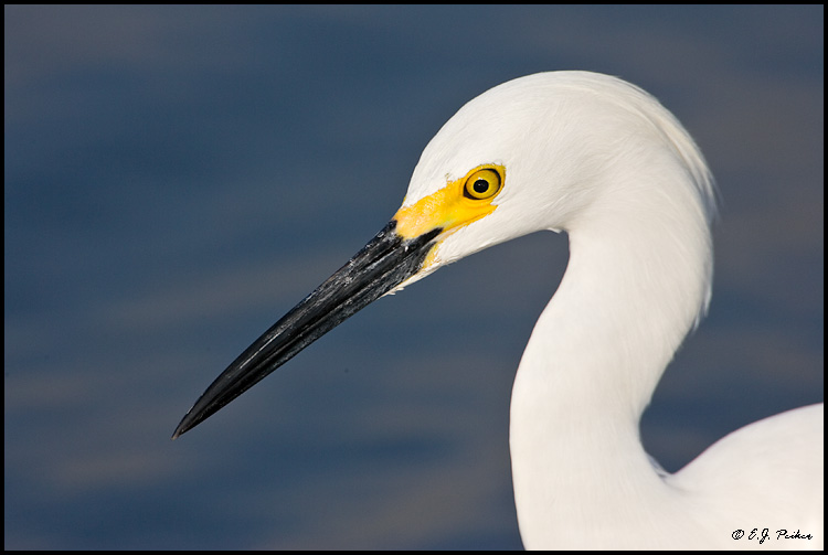 Snowy Egret, Huntington Beach, CA