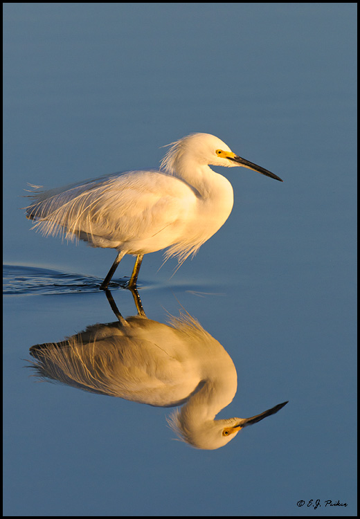 Snowy Egret, Huntington Beach,CA