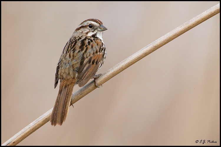 Song Sparrow, Irvine, CA