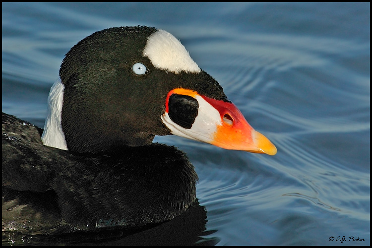 Surf Scoter, Huntington Beach, CA