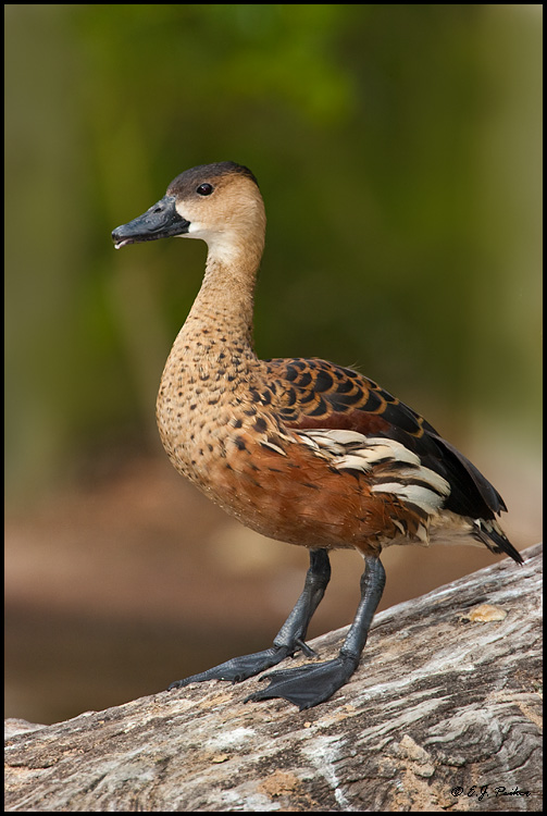 Wandering Whistling Duck, Escondido, CA