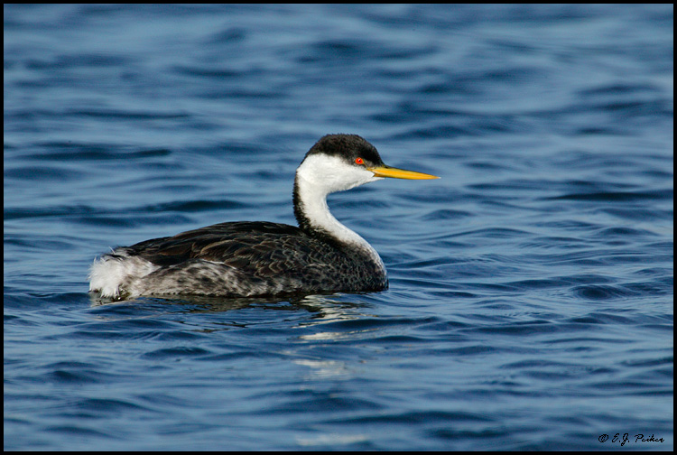 Western Grebe, Huntington Beach, CA