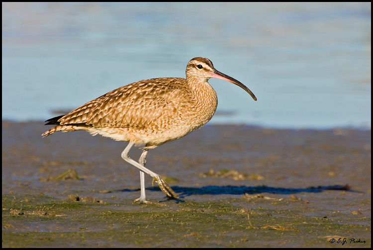 Whimbrel, Huntington Beach, CA