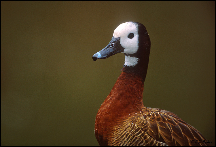 White-faced Whistling Duck, San Diego, CA