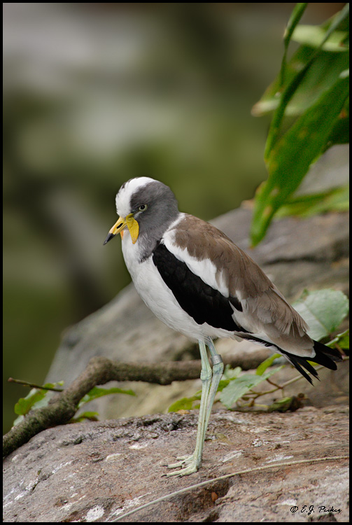 White-headed Lapwing, San Diego, CA