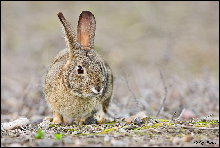 Cottontailed Rabbit, Irvine, CA