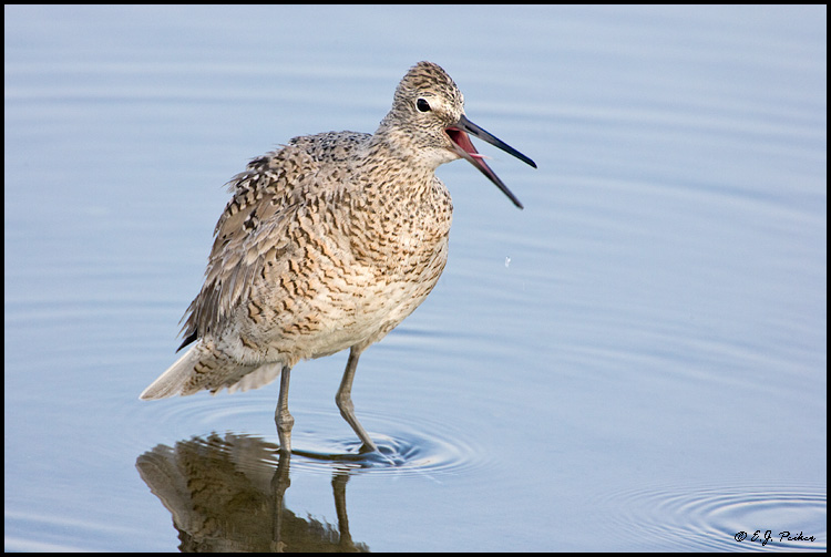 Willet, Huntington Beach, CA