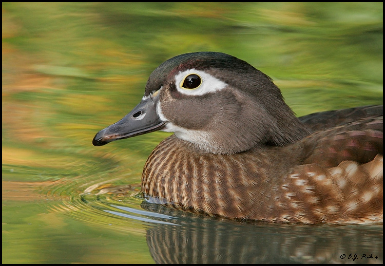 Wood Duck, San Diego, CA
