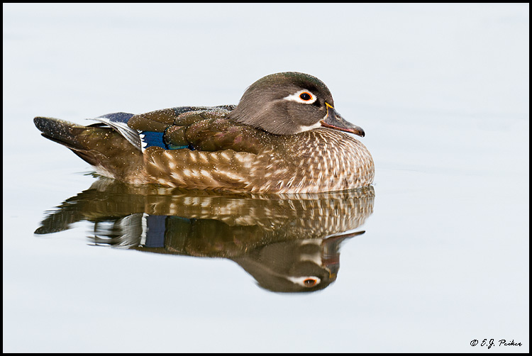 Wood Duck, Santee, CA