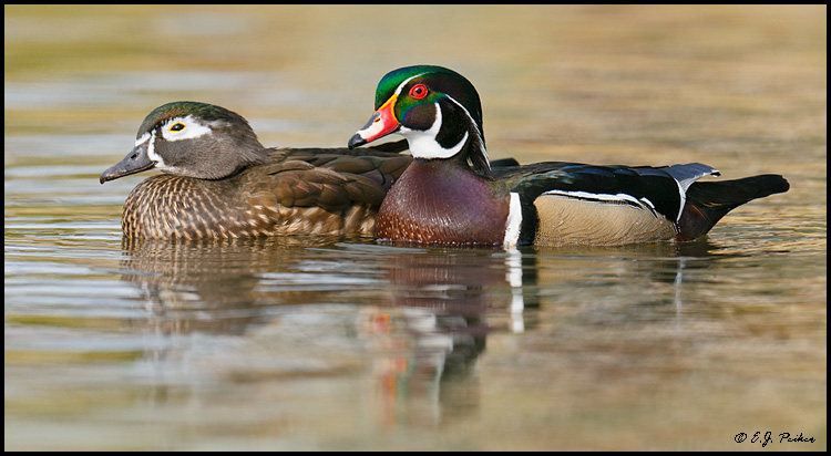 Wood Duck Couple, Santee, CA