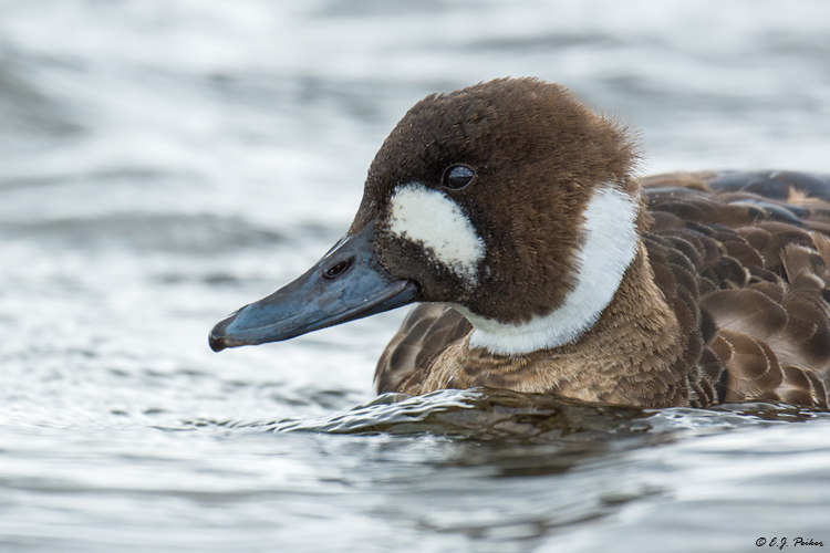 Bronze-winged Duck, Chile