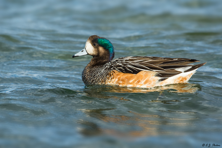 Chiloe Wigeon, Puerto Natales, Chile