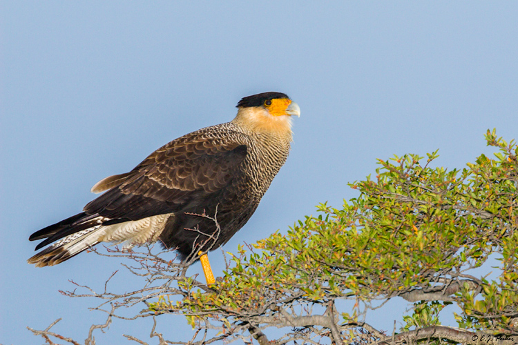 Crested Caracara, Torres del Paine, Chile