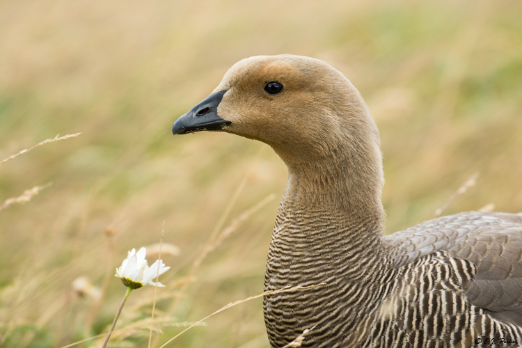 Upland Goose, Torres del Paine, Chile