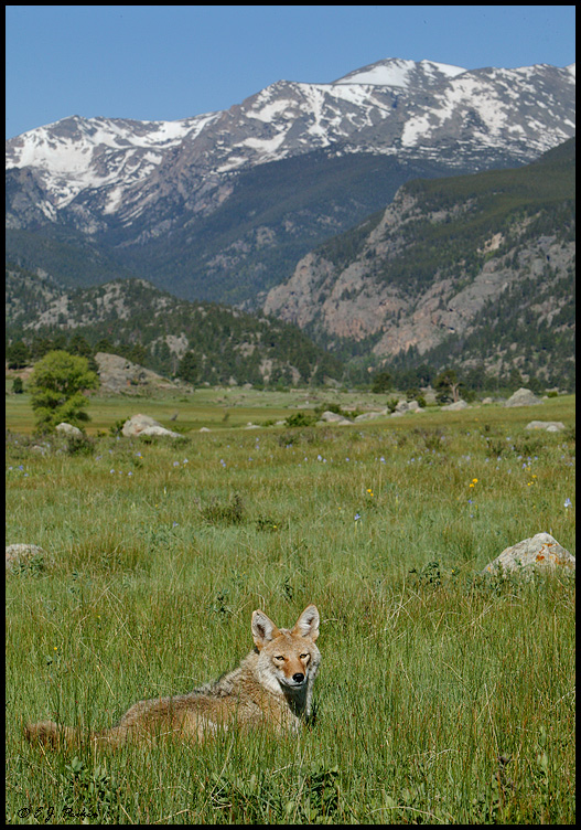 Coyote, Rocky Mountain NP, CO