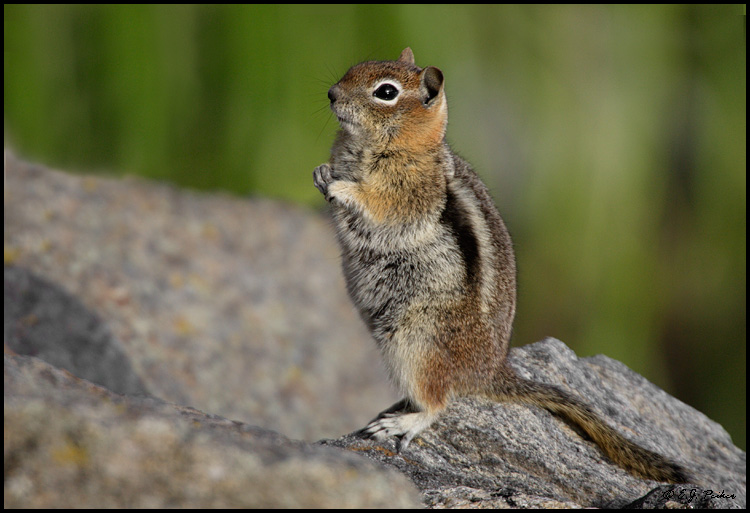 Golden-mantled Squirrel, Rocky Mountain NP