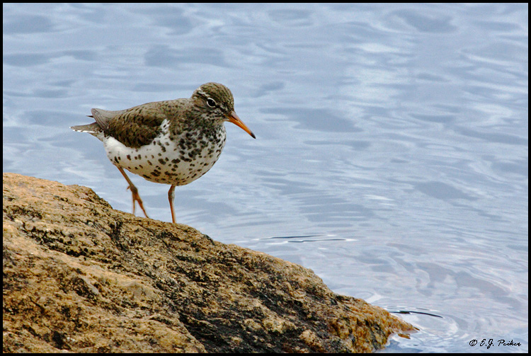 Spotted Sandpiper, Rocky Mountain NP, CO