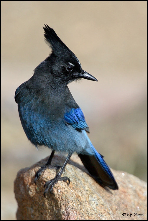 Steller's Jay, Rocky Mountain NP, CO