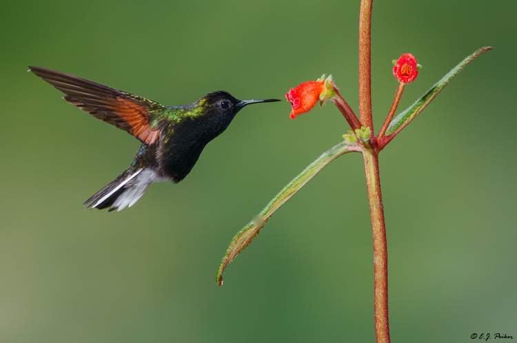 Black-bellied Hummingbird, Costa Rica