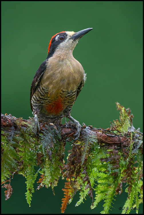 Black-cheeked Woodpecker, Costa Rica
